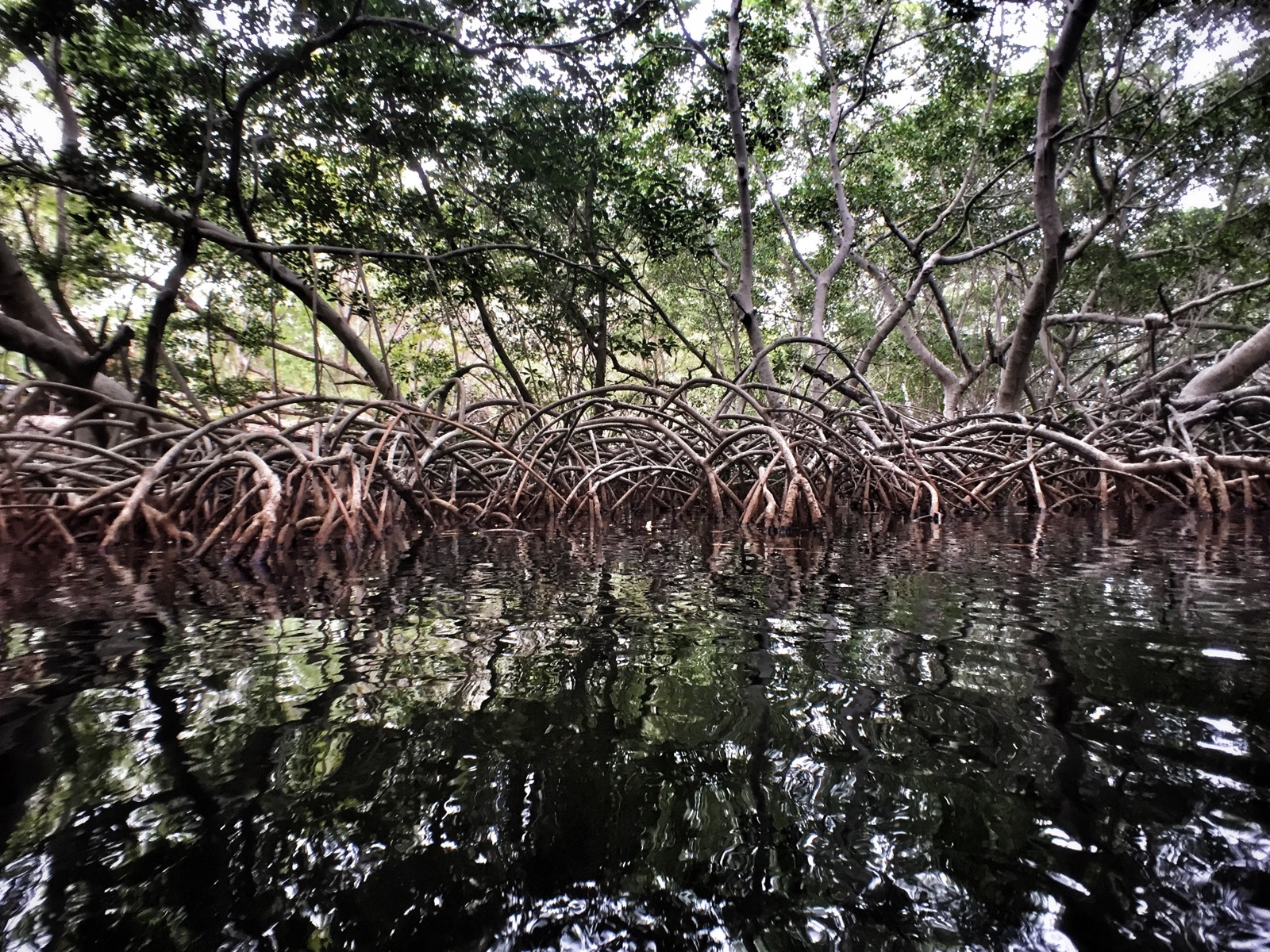 The mangrove, a beautiful sea water tree, saved by the islanders.